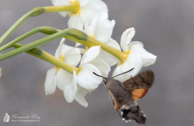 esfinge-colibri