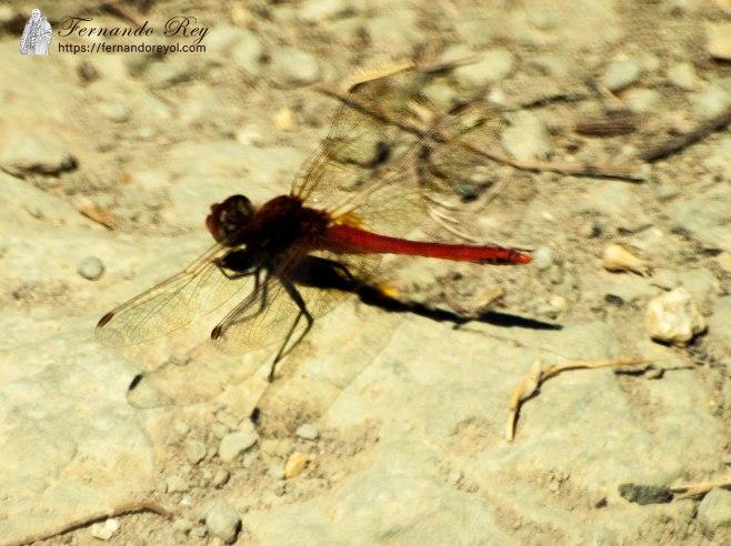 libélula roja